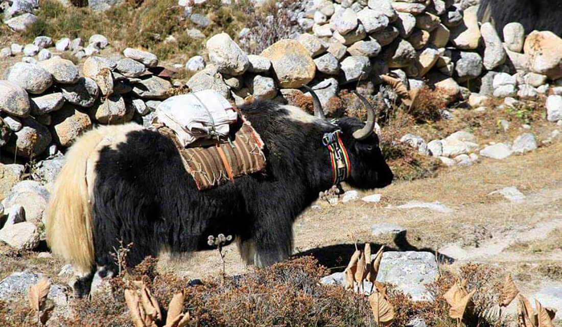 Yak and Nak During the Everest Trek
